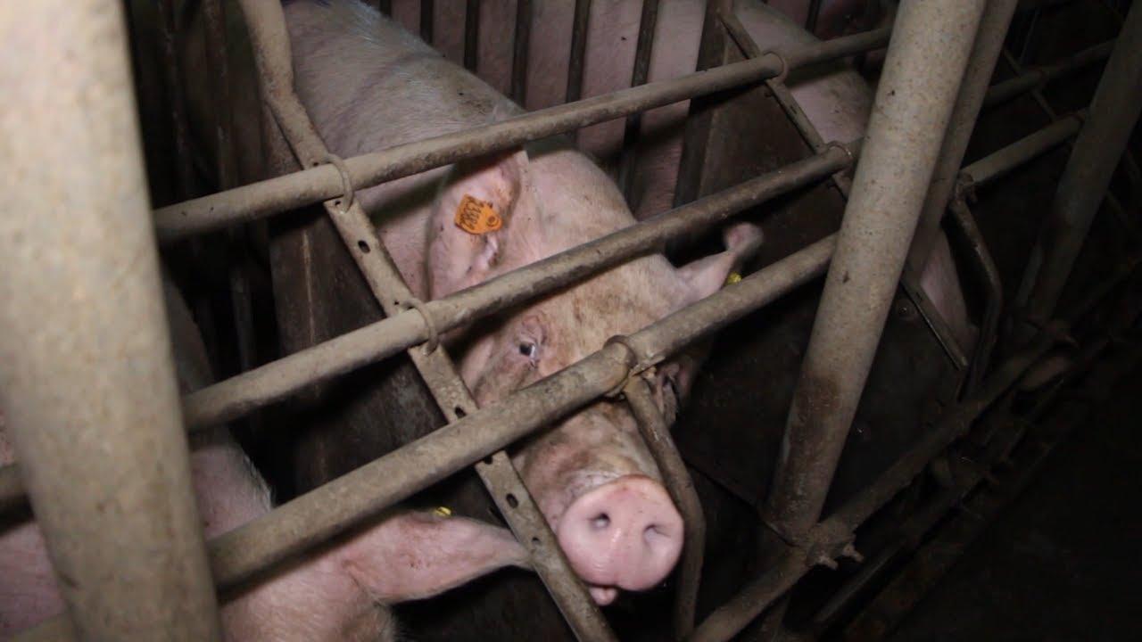 Чума свиней в Ульяновской области. Итоги недели