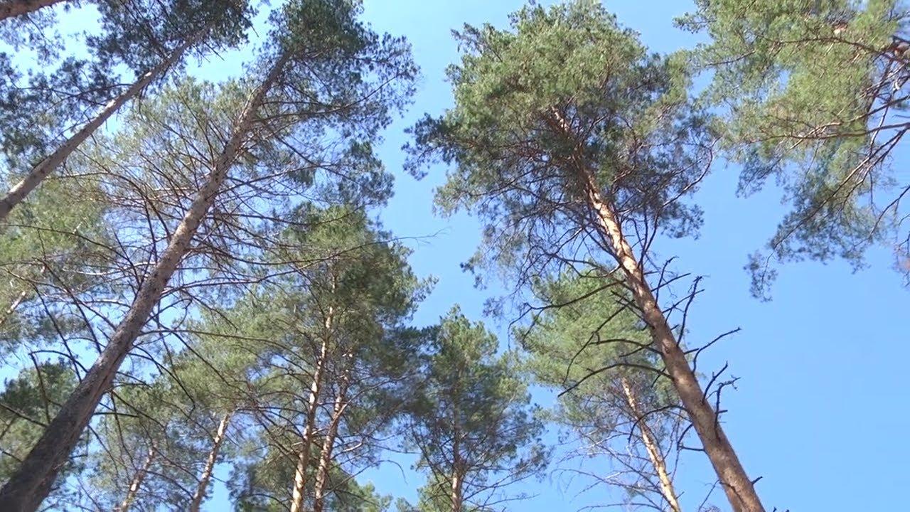 Лесов в Ульяновской области станет больше